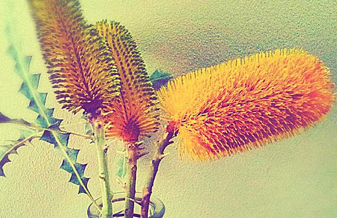 Golden Banksia flower