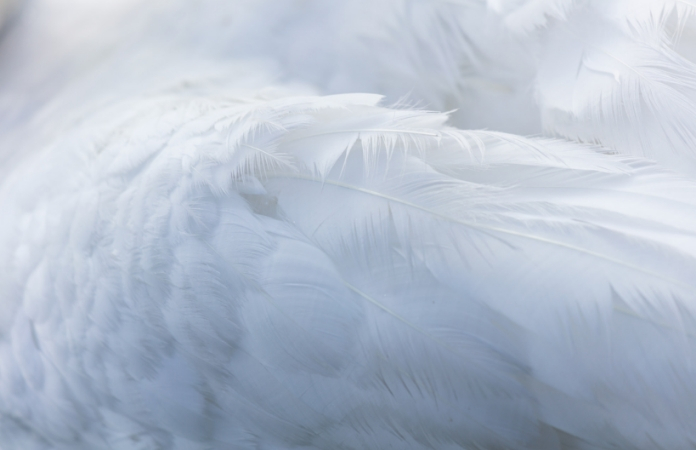 White feathered angel wing
